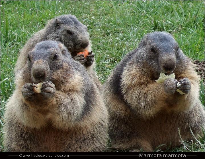 Marmottes des Alpes - Marmota marmota - rongeurs de la ...