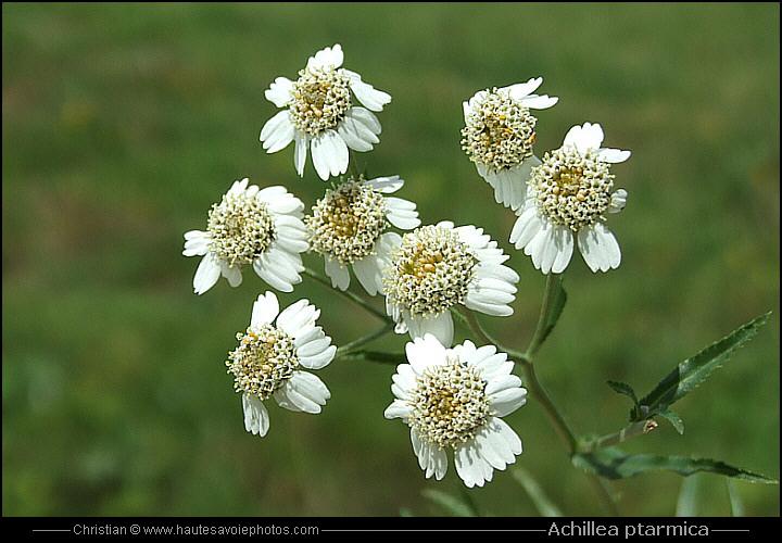 1616 Photos Et Identifications De Fleurs Sauvages Des Alpes