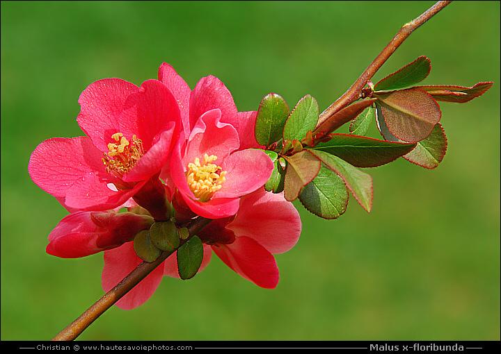 Pommier du japon malus x floribunda arbuste de la famille des rosaceae - Pommier du japon toxique ...