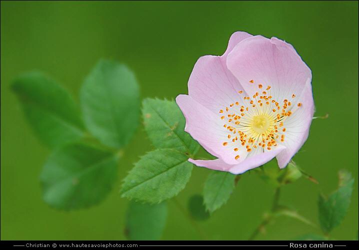 eglantier rosa canina arbrisseau pineux de la famille des rosaceae. Black Bedroom Furniture Sets. Home Design Ideas