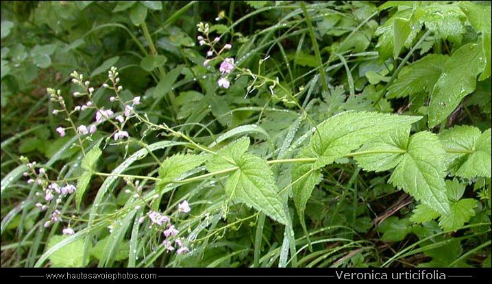 À Feuilles D'Ortie - Veronica Urticifolia
