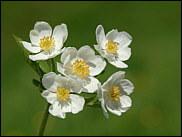 1624 Photos Et Identifications De Fleurs Sauvages Des Alpes