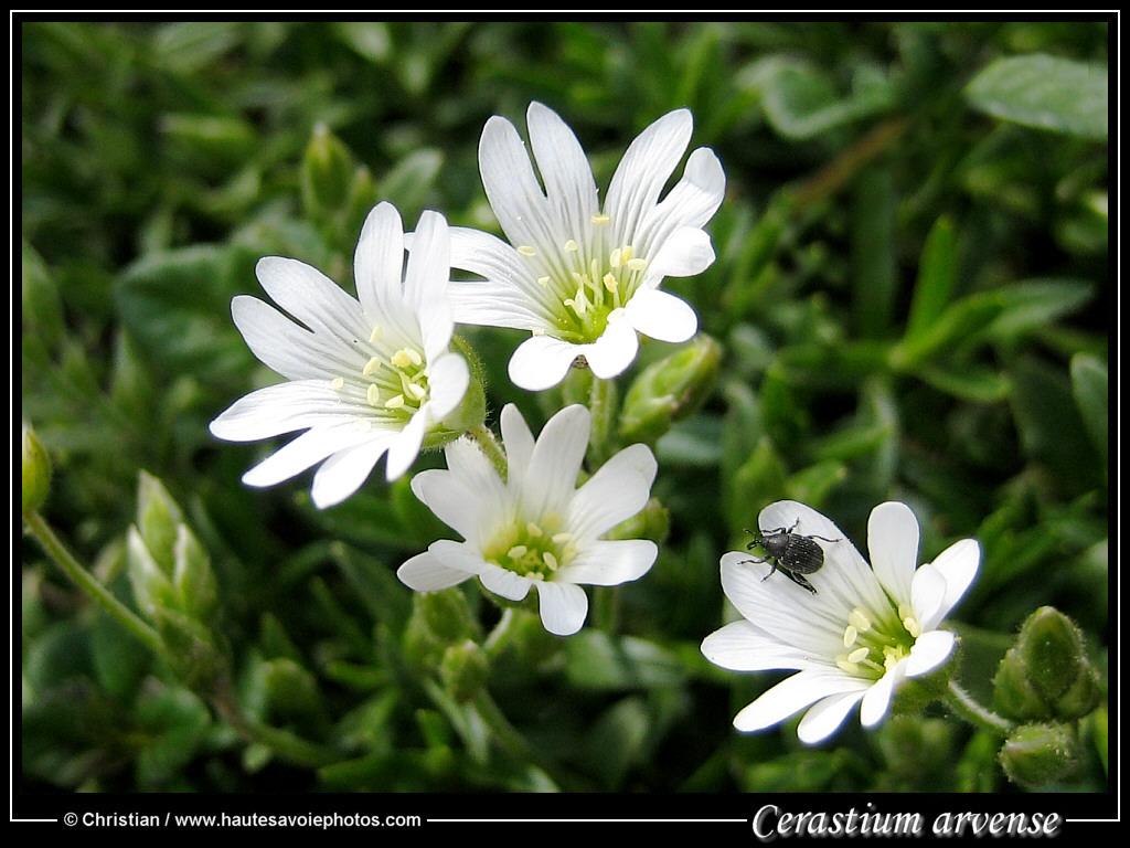 Des chs - cerastium arvense - famille des caryophyllacées