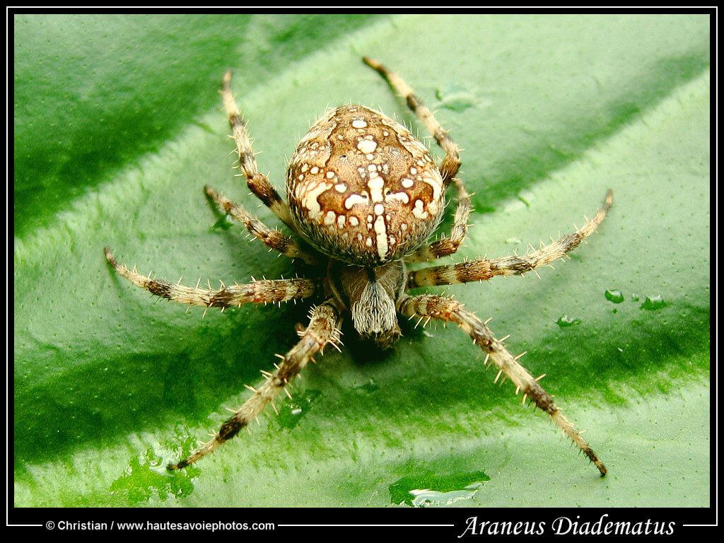 grande photo epeire diad232me araneus diadematus